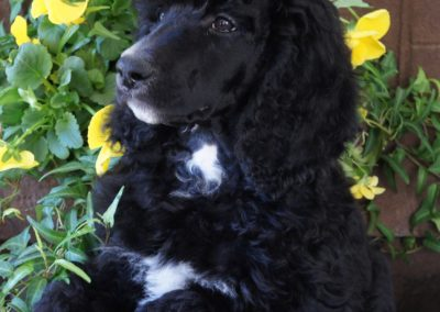 Mnj Poodles Beautiful Multi Colored Parti And Solid Poodle