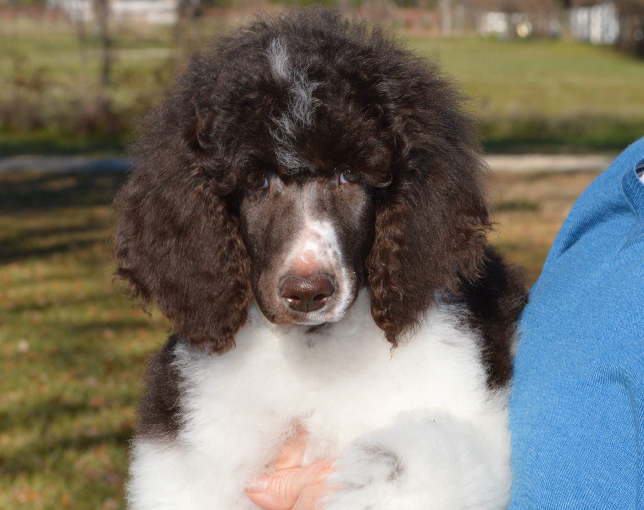 MnJ Poodles | Beautiful Multi-colored Parti and Solid Poodle