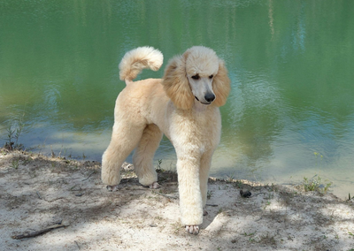 MnJ Poodles | Beautiful Multi-colored Parti and Solid Poodle Puppies
