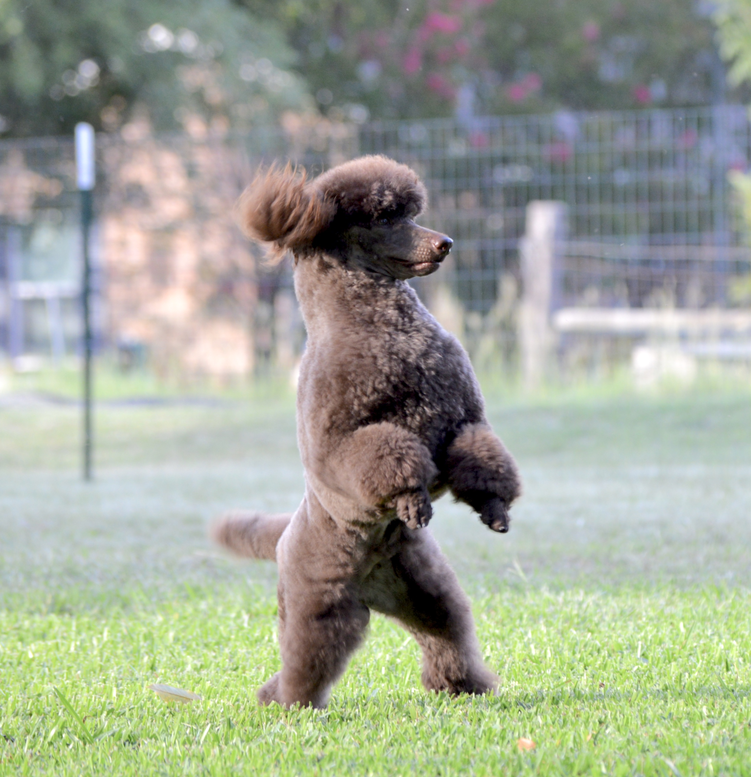 Available | MnJ Poodles